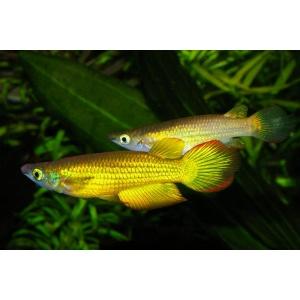 Aplocheilus-lineatus