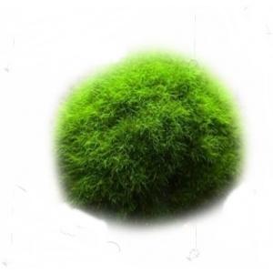 Kladofora-mahovinasta lopta