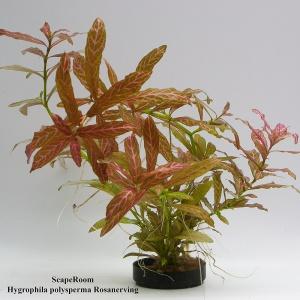 Hygrophila polysperma Rosanerving