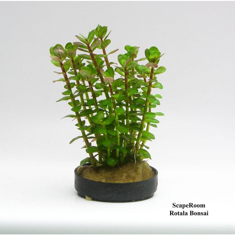 Rotala bonsai
