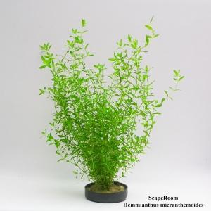 Hemmianthus micranthemoides