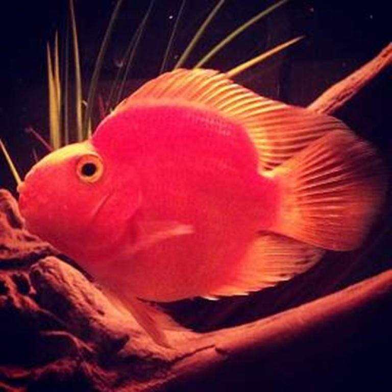Papagaj riba