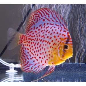 leopard diskus fish