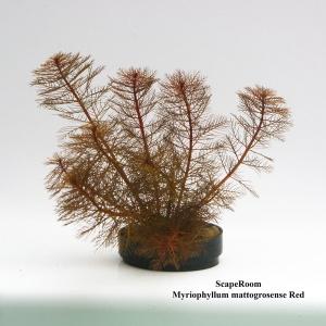 Myriophyllum mattogrossense Red
