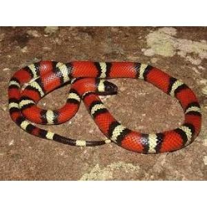 Mlečna zmija-Lampropeltis triangulum