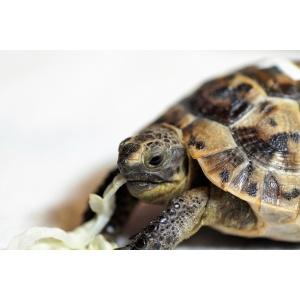 Šumska kornjača -Testudo hermanni hermanni