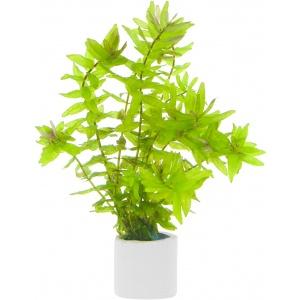 Rotala macandra green